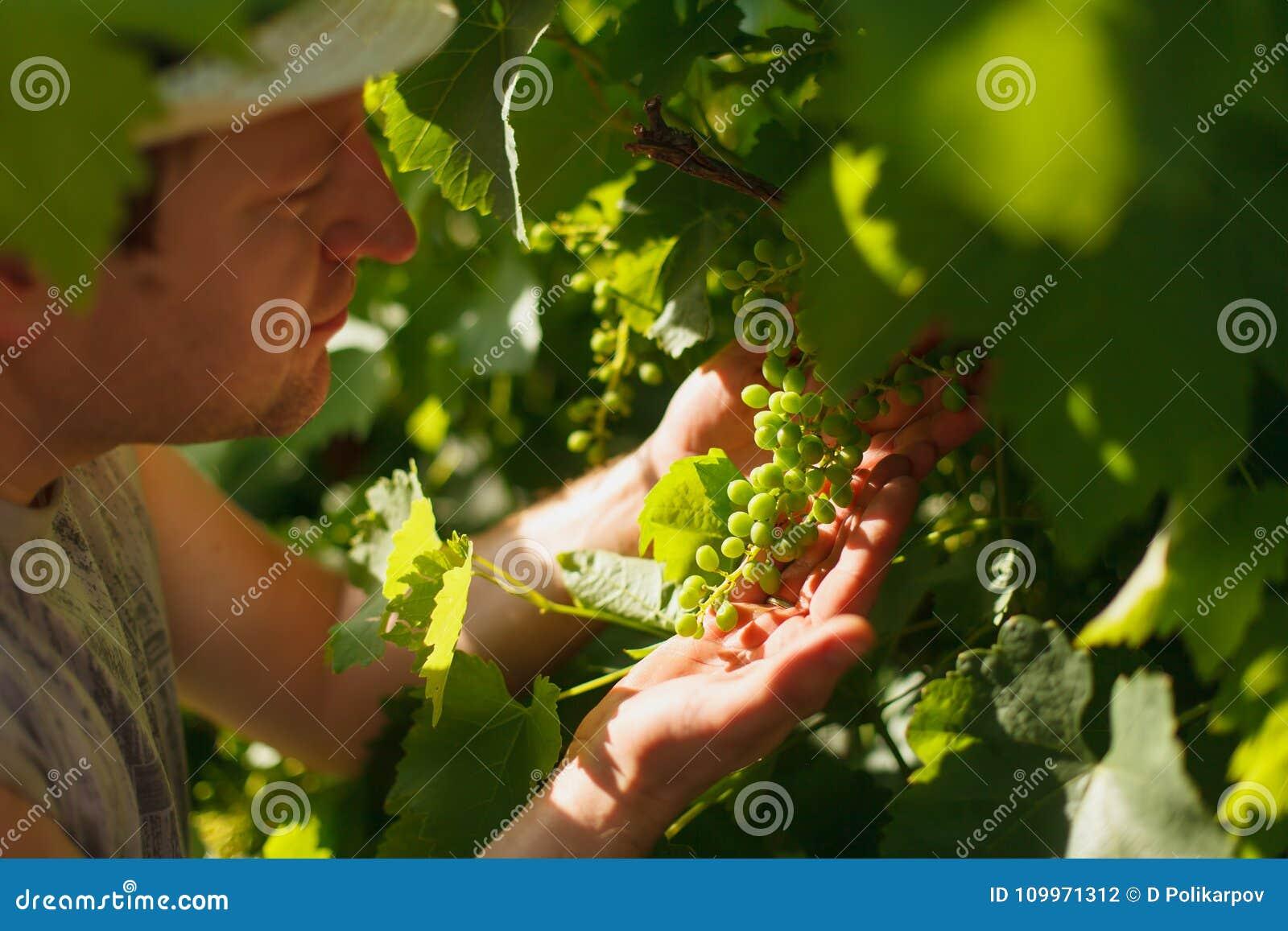 El viticultor está comprobando la vid blanca en el viñedo por el tiempo soleado