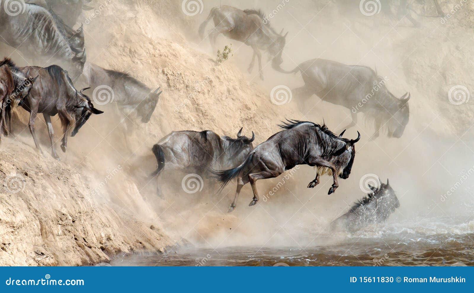 El Wildebeest salta en el río de un alto acantilado