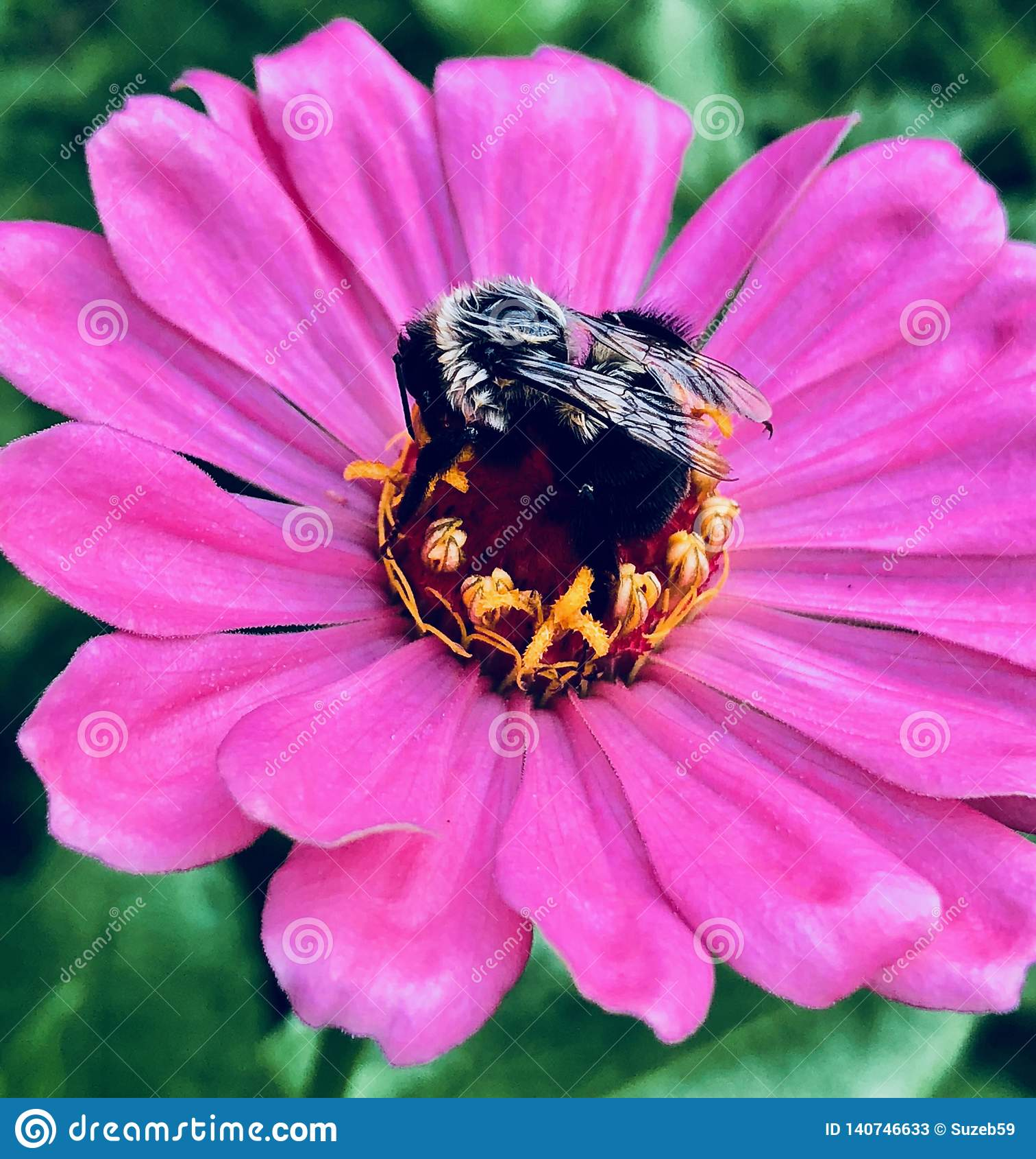 El Zinnia rosado con manosea la abeja