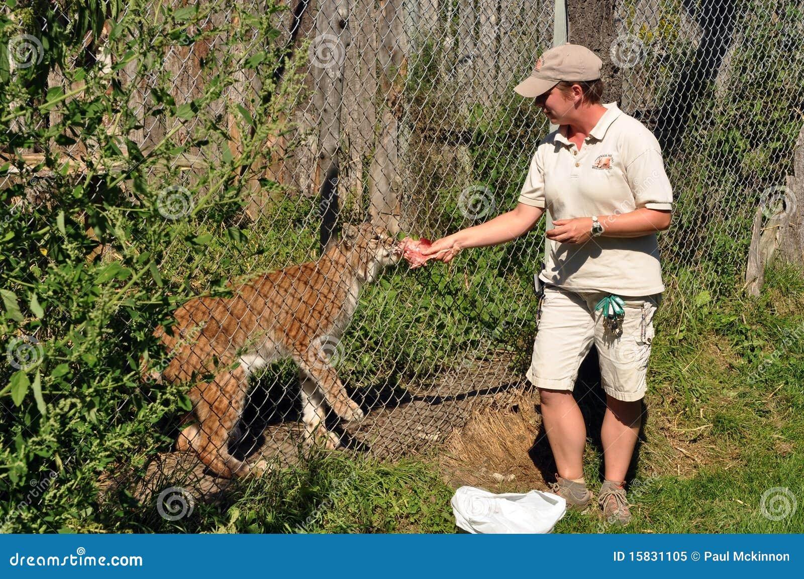El Zookeeper introduce el lince