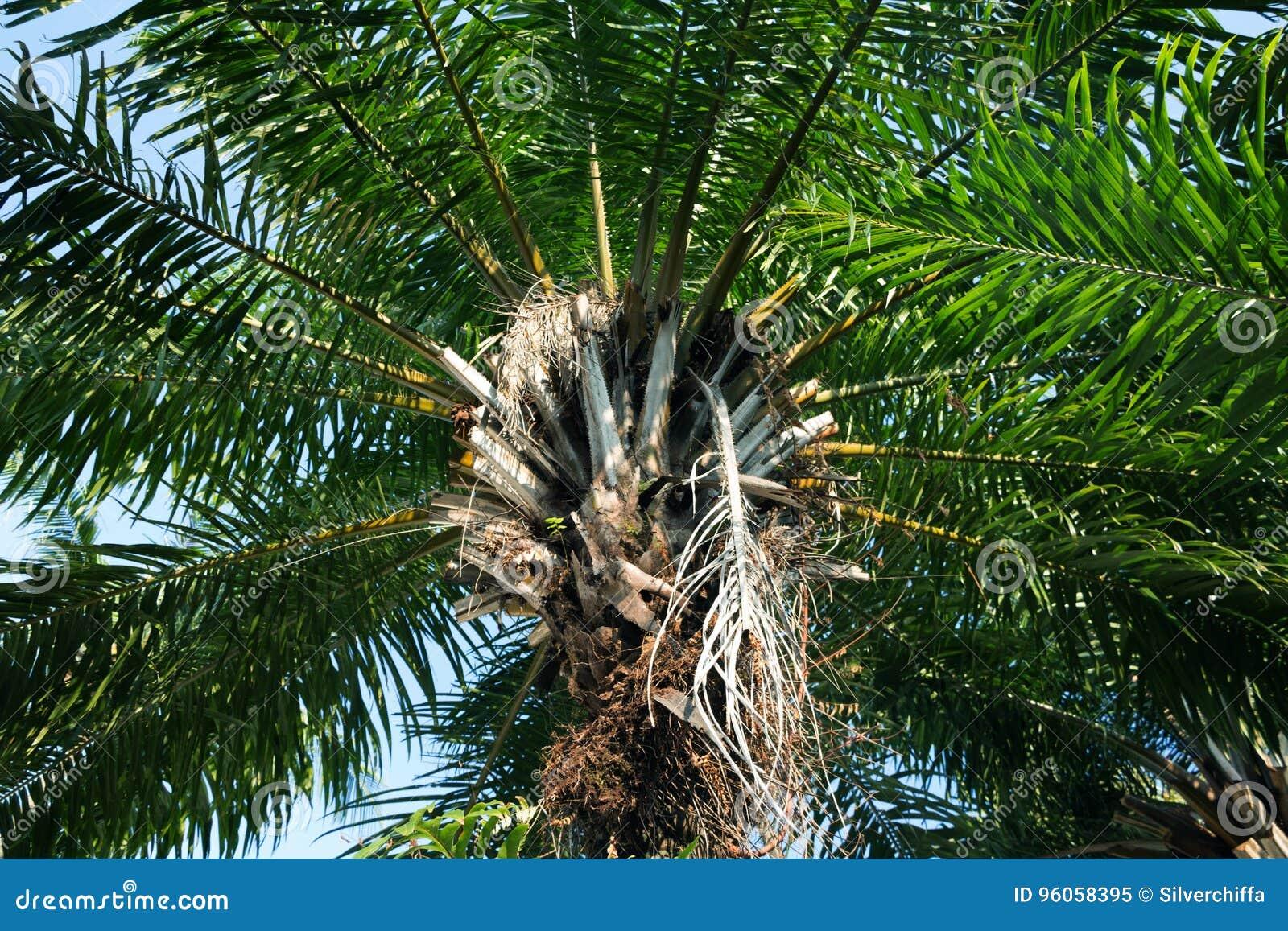 Elaeis guineensis de paume - Arecaceae