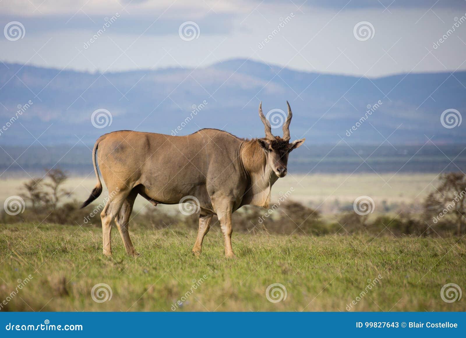 Eland byk z zieloną trawą i scenicznym tłem