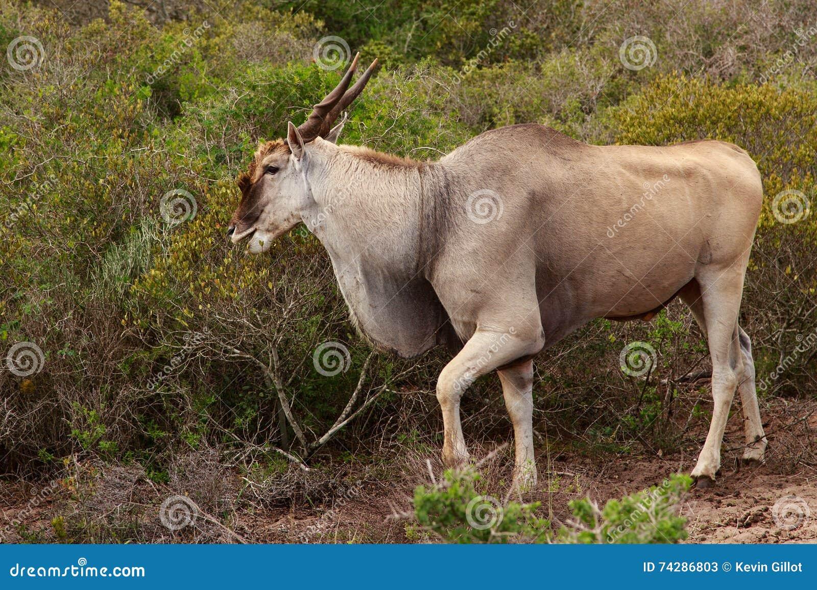 EL REY DE LA SELVA !!!!! Eland-el-ant%C3%ADlope-m%C3%A1s-grande-de-%C3%A1frica-74286803