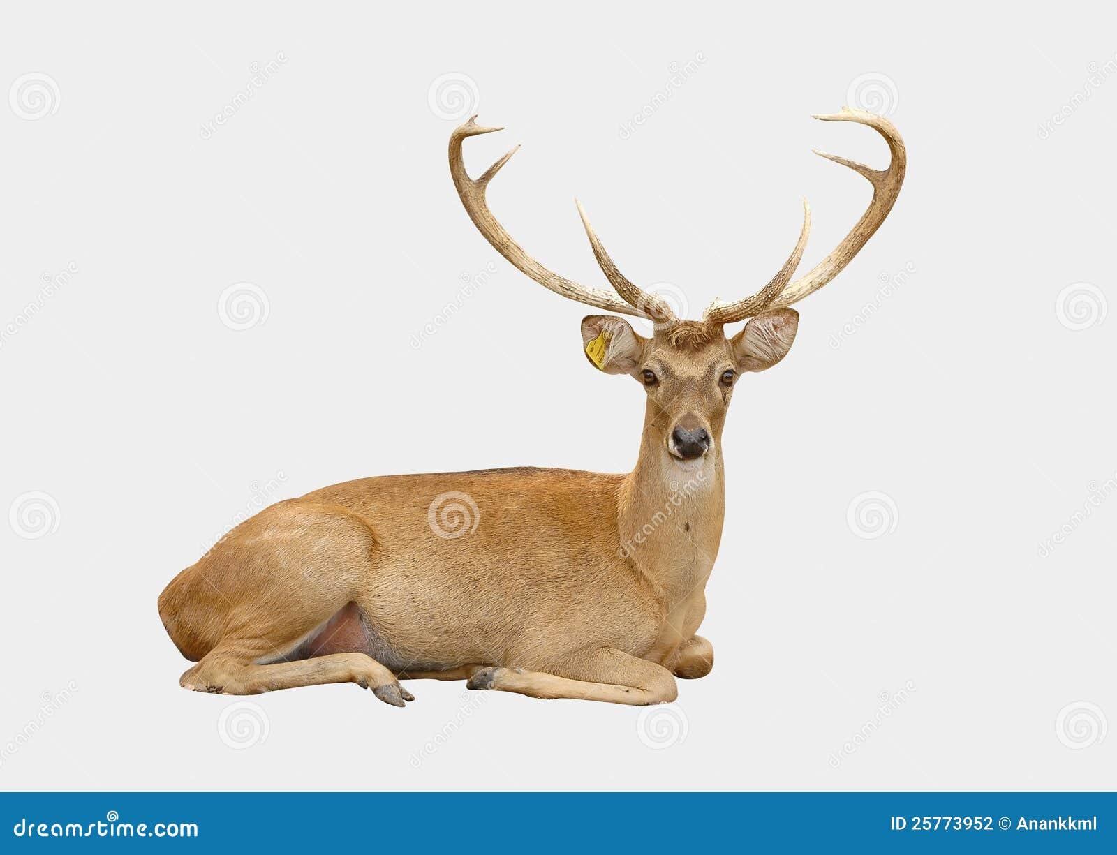 Eld deer stock photography image 25773952