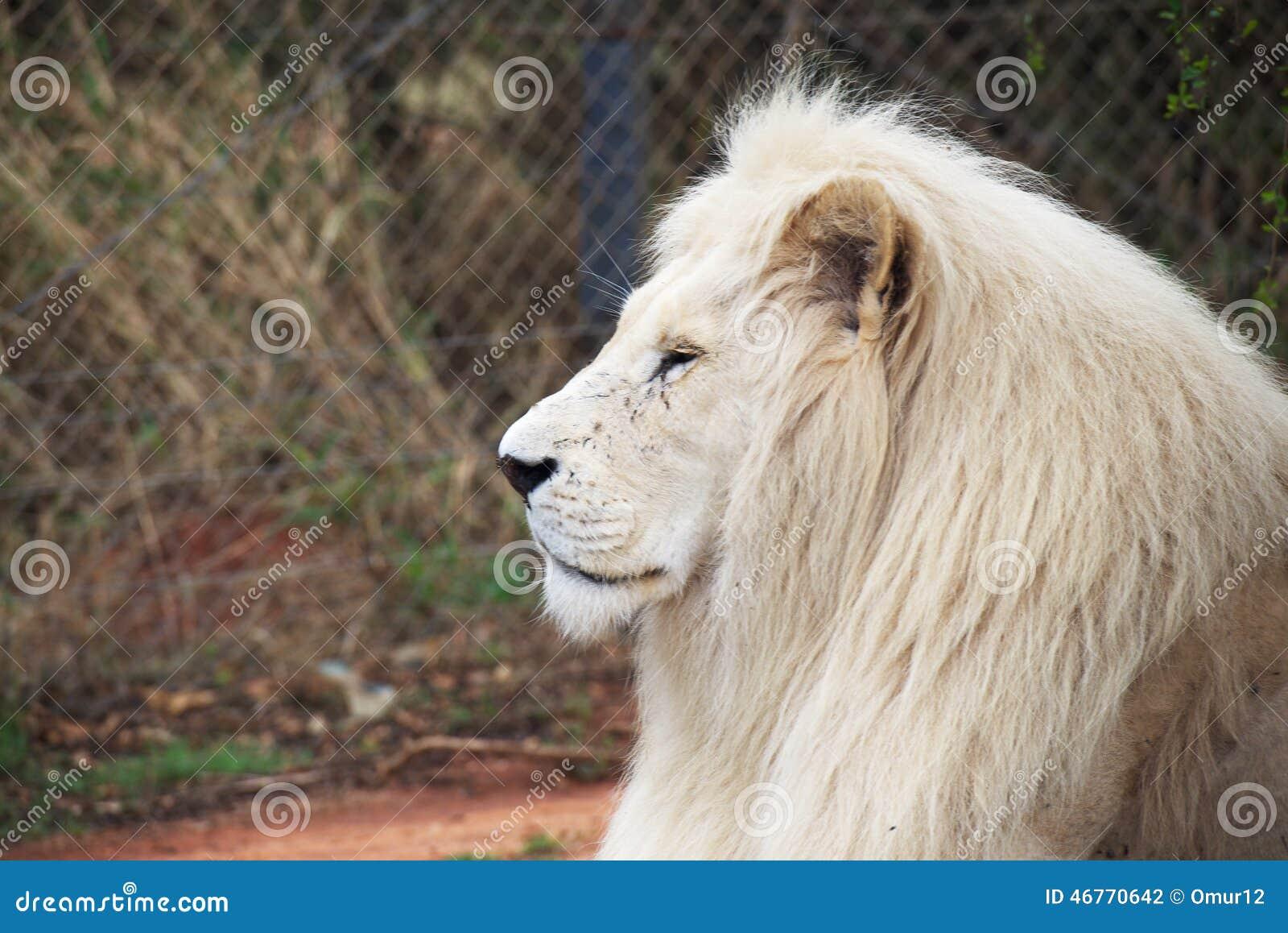 elder white lion stock photo image 46770642