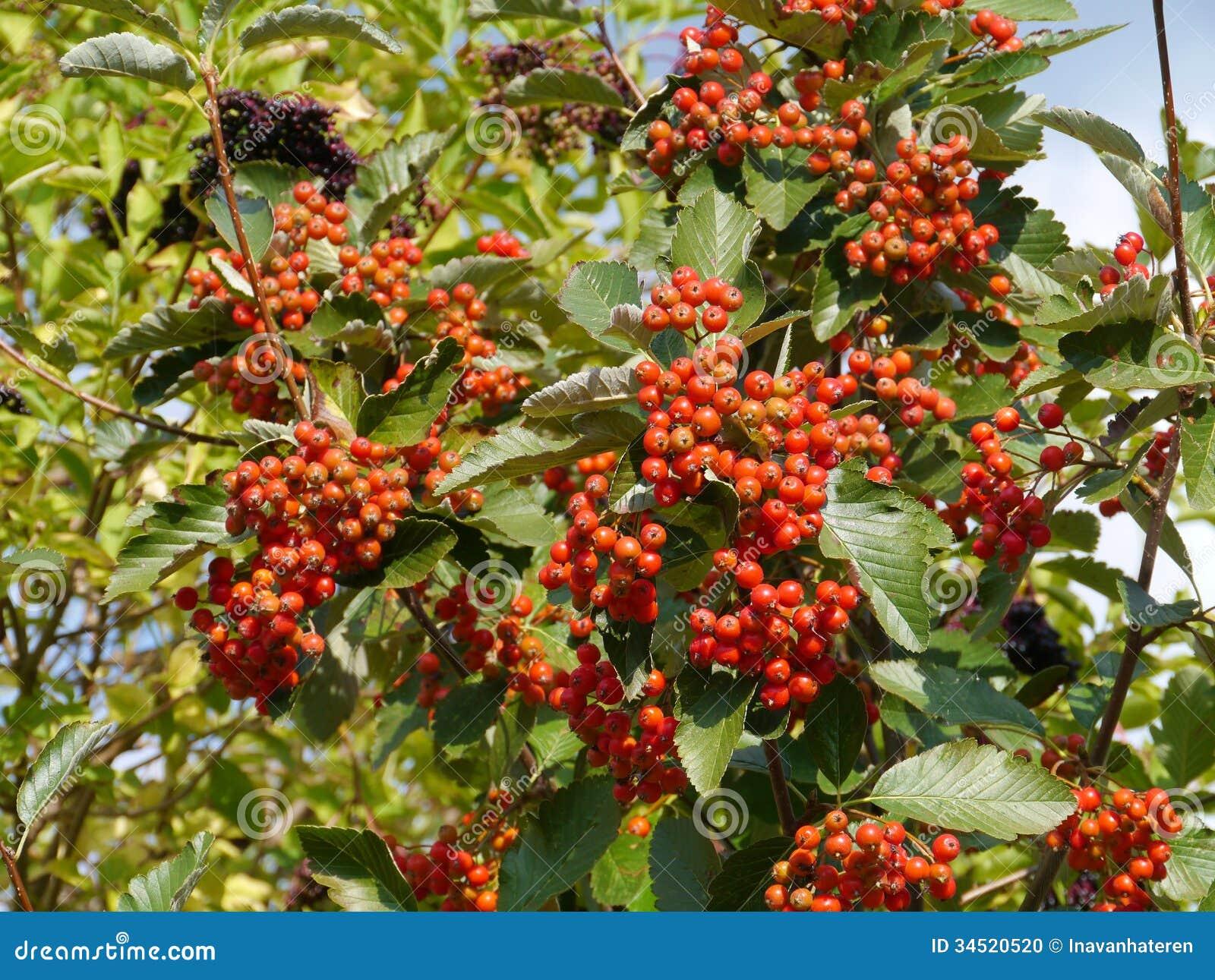 Elderberry Tree Stock Photo - Image: 34520520
