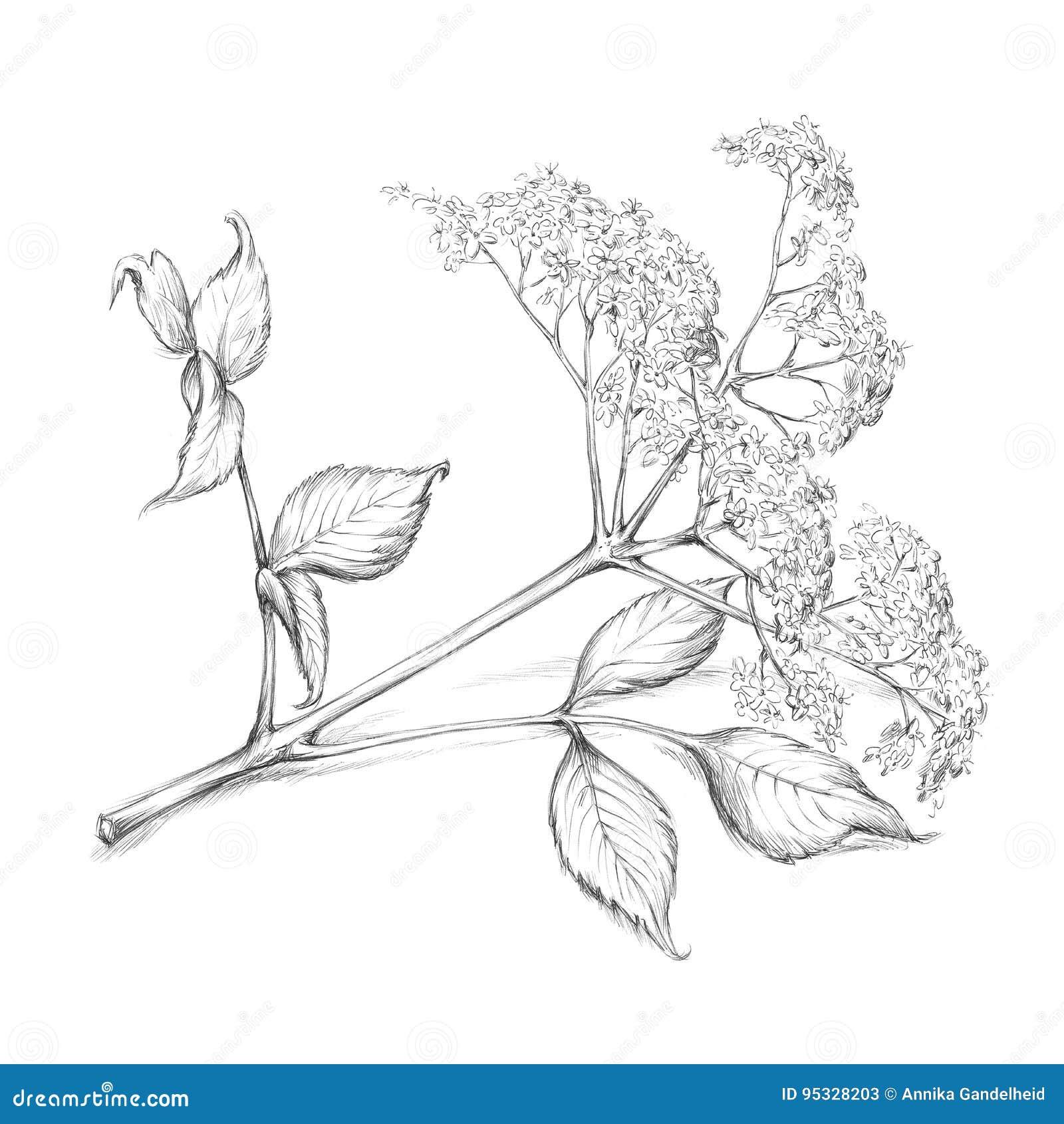 Elderflower okwitnięcie z liściem i trzonem