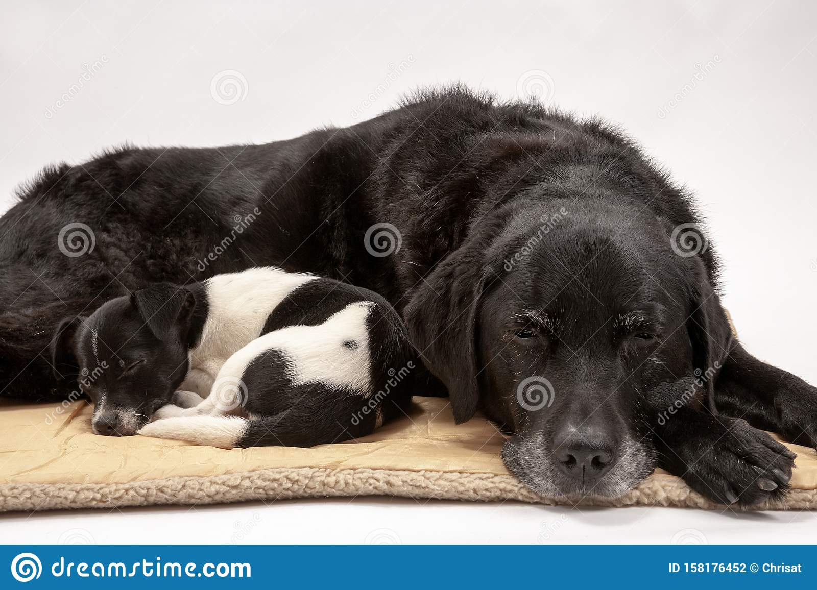 An elderly black labrador and her new 3 month old Jack Chi cross puppy friend