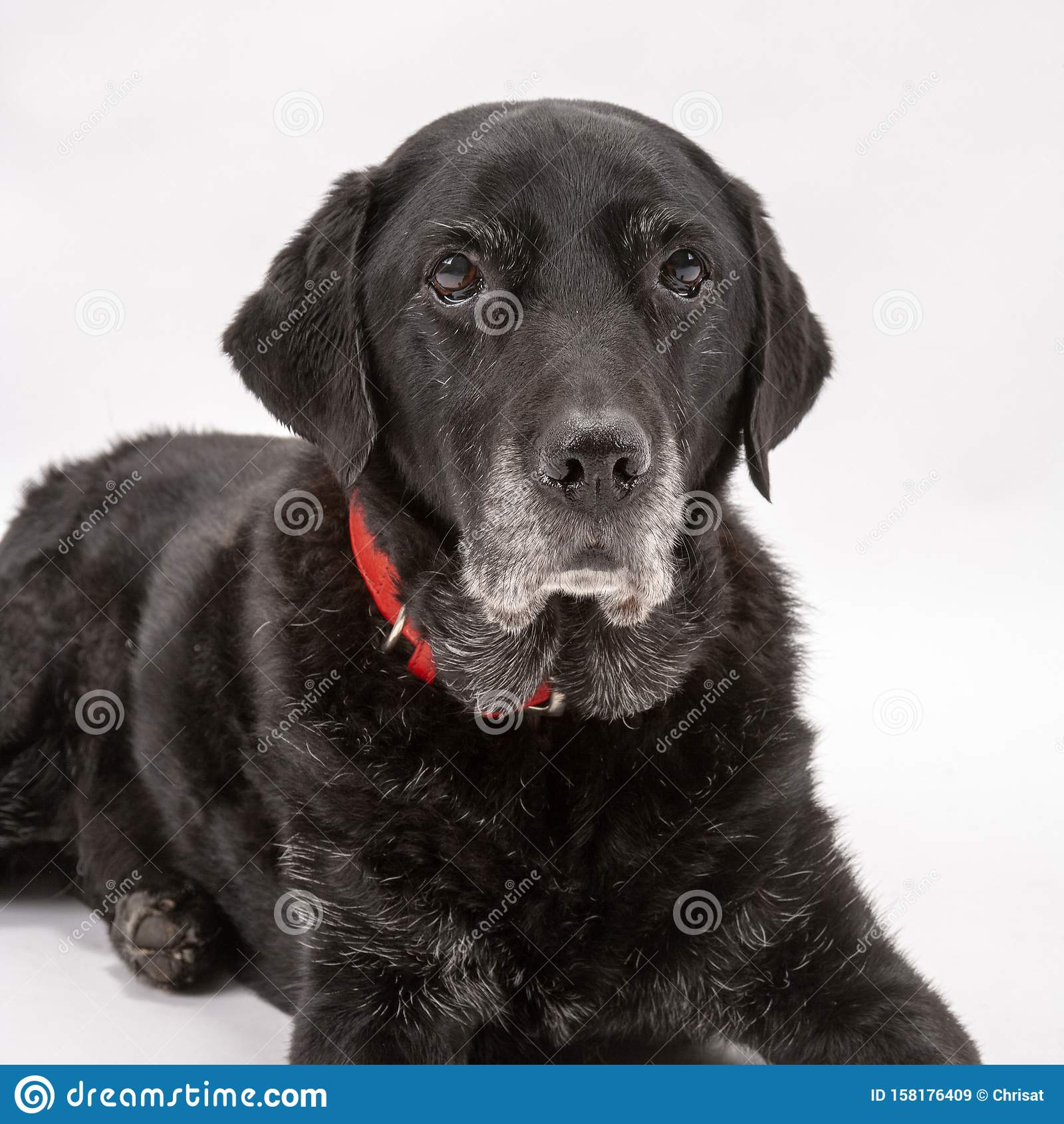An elderly black labrador poses on a white seamless backdrop