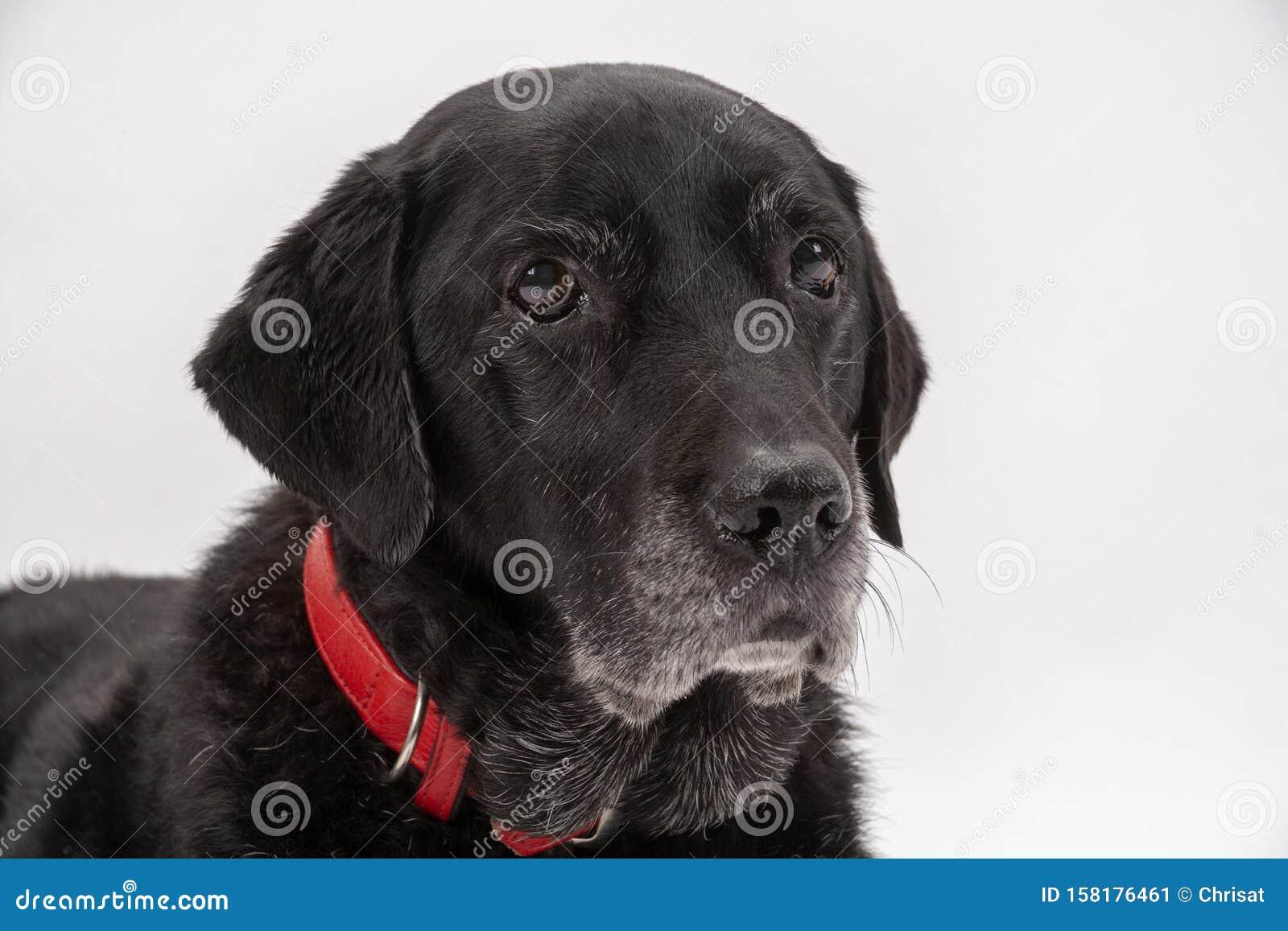 An elderly black labrador poses on a white seamless backdrop