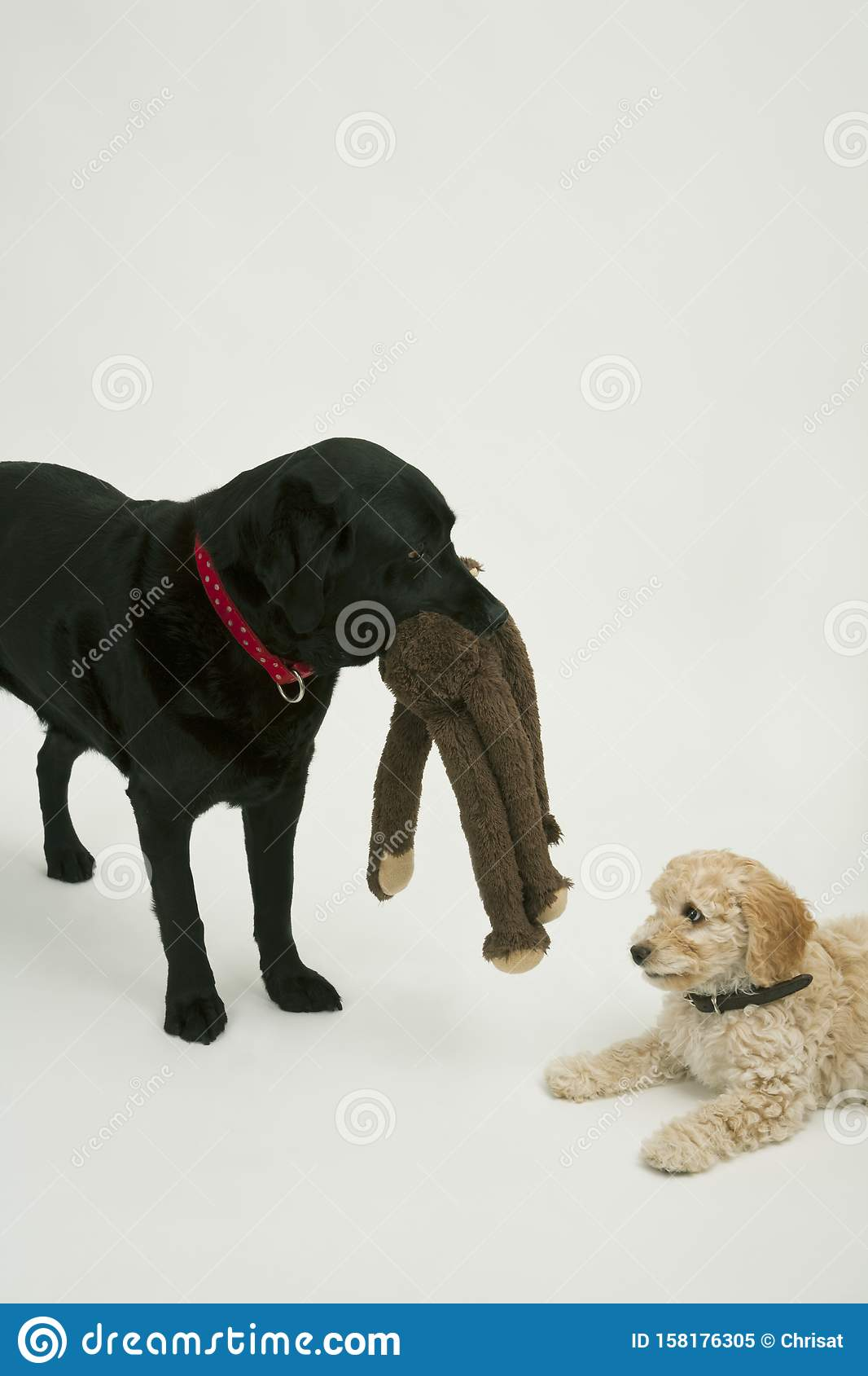 An elderly black labrador waits patiently while A cute Cockapoo puppy tries to take her soft toy away.
