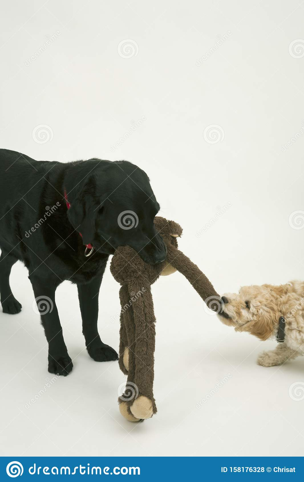 An elderly black labradorwaits patiently while A cute Cockapoo puppy tries to take her soft toy away.