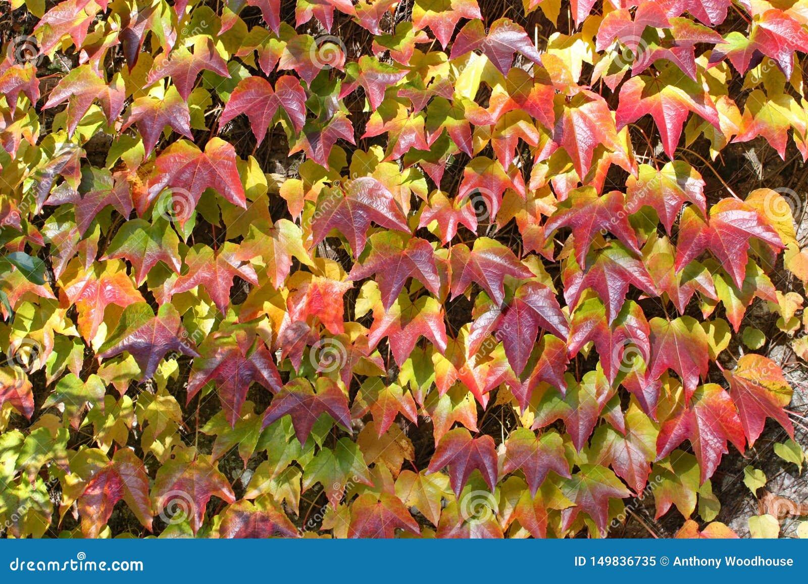 Ele cores outonais da hera que groing acima de uma parede no arboreto de Arley na região central da Inglaterra em Inglaterra