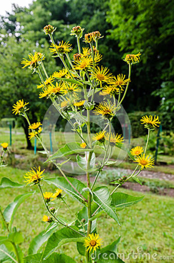 Elecampane inula helenium stock photo image of weed 43027422 elecampane flower inula helenium tall plant with yellow flowers mightylinksfo