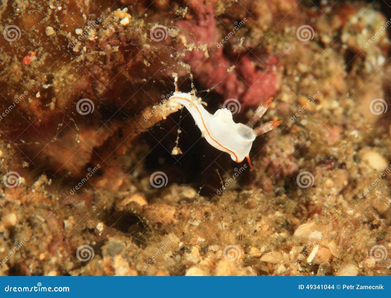Electra glossodoris †Nudibranch «