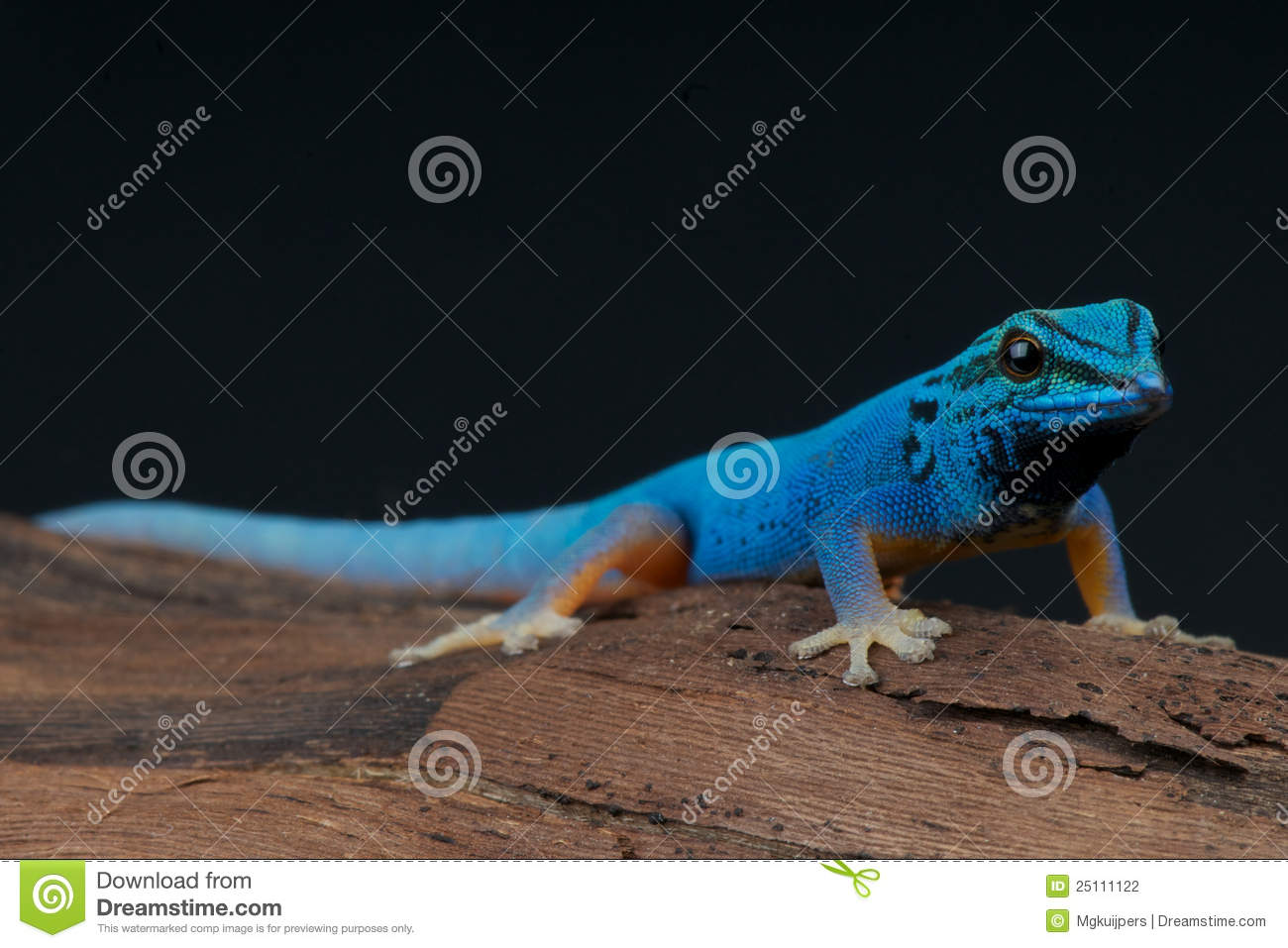 electric blue gecko stock photography   image 25111122