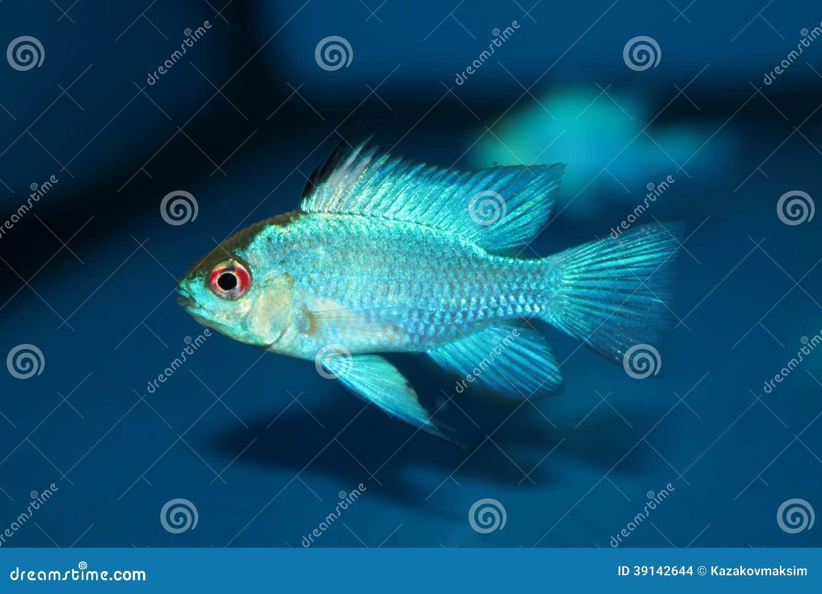 Electric Blue Ram Aquarium Fish Stock Photo Image 39142644