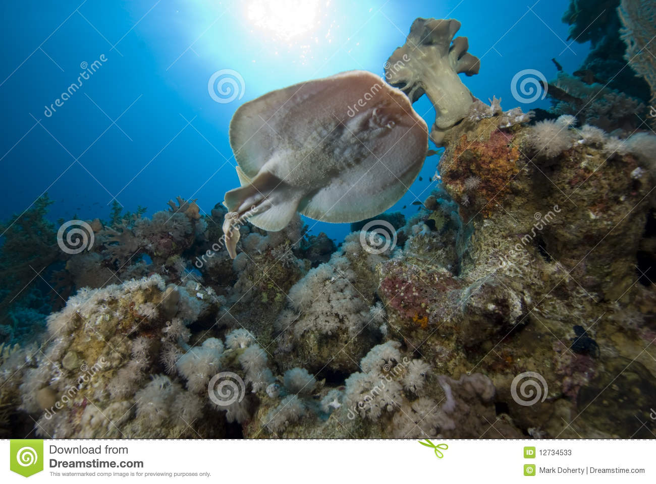 Electric Ray Stock Photos Image 12734533