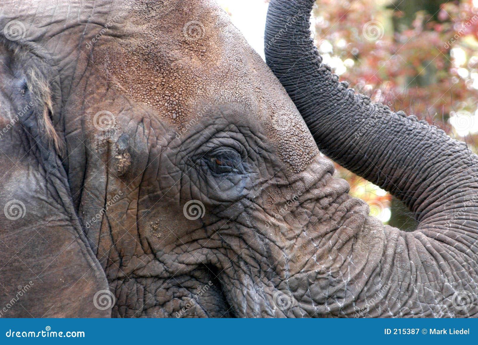 Elefantöga