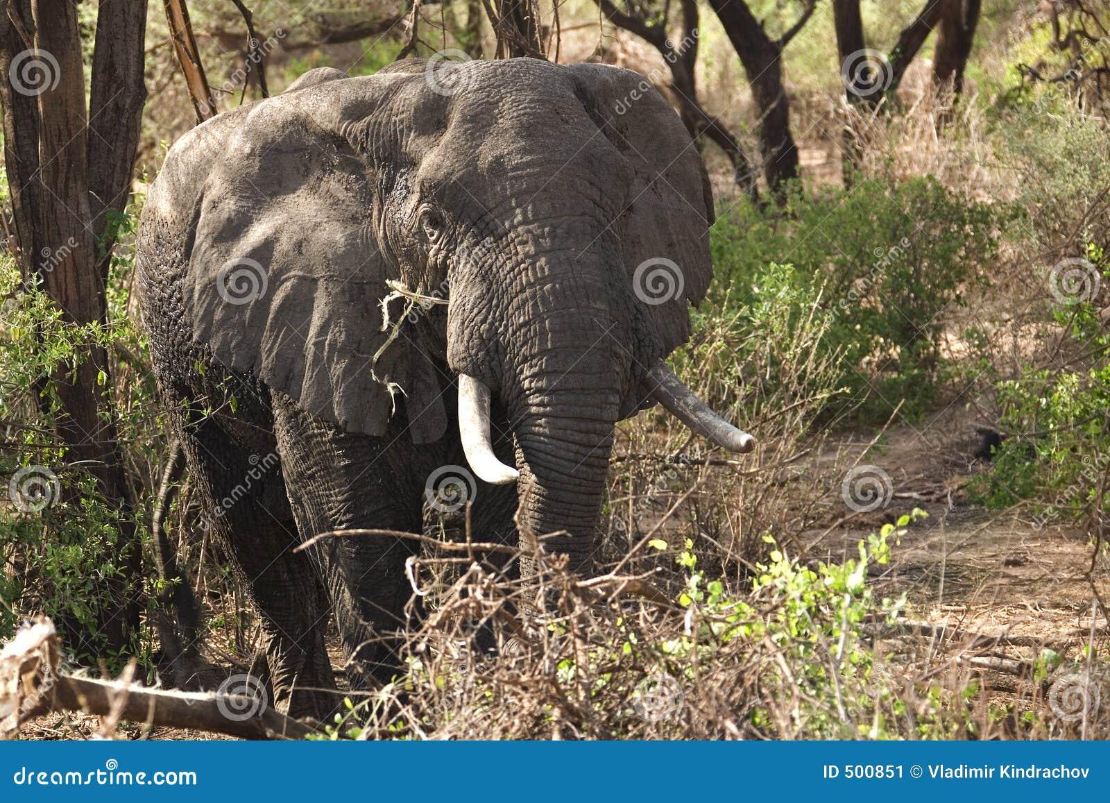 Elefant för 014 djur