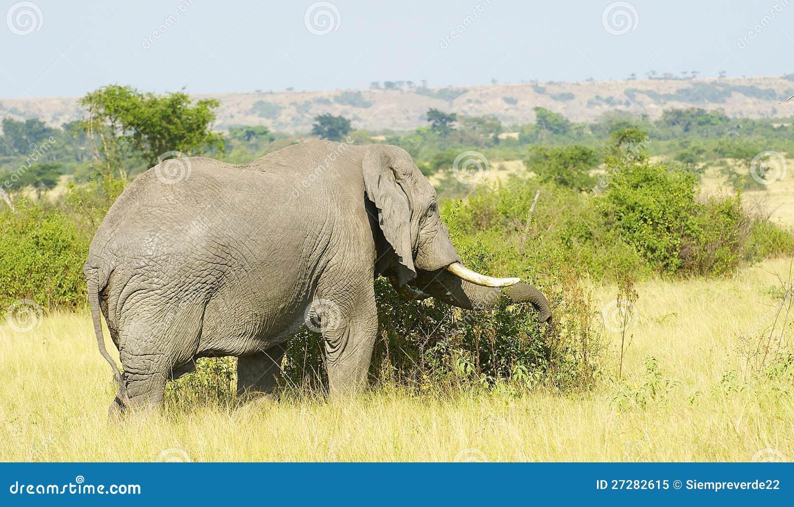 Elefant i Afrika