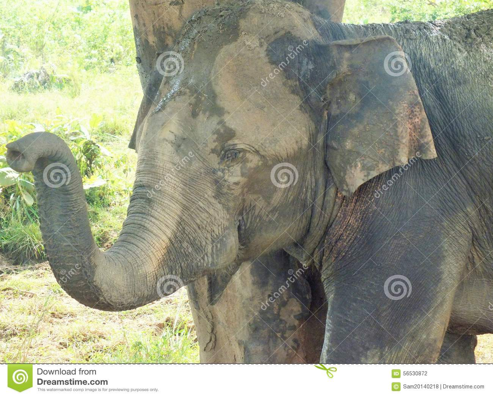 Elefant i naturligt omge i Sri Lanka