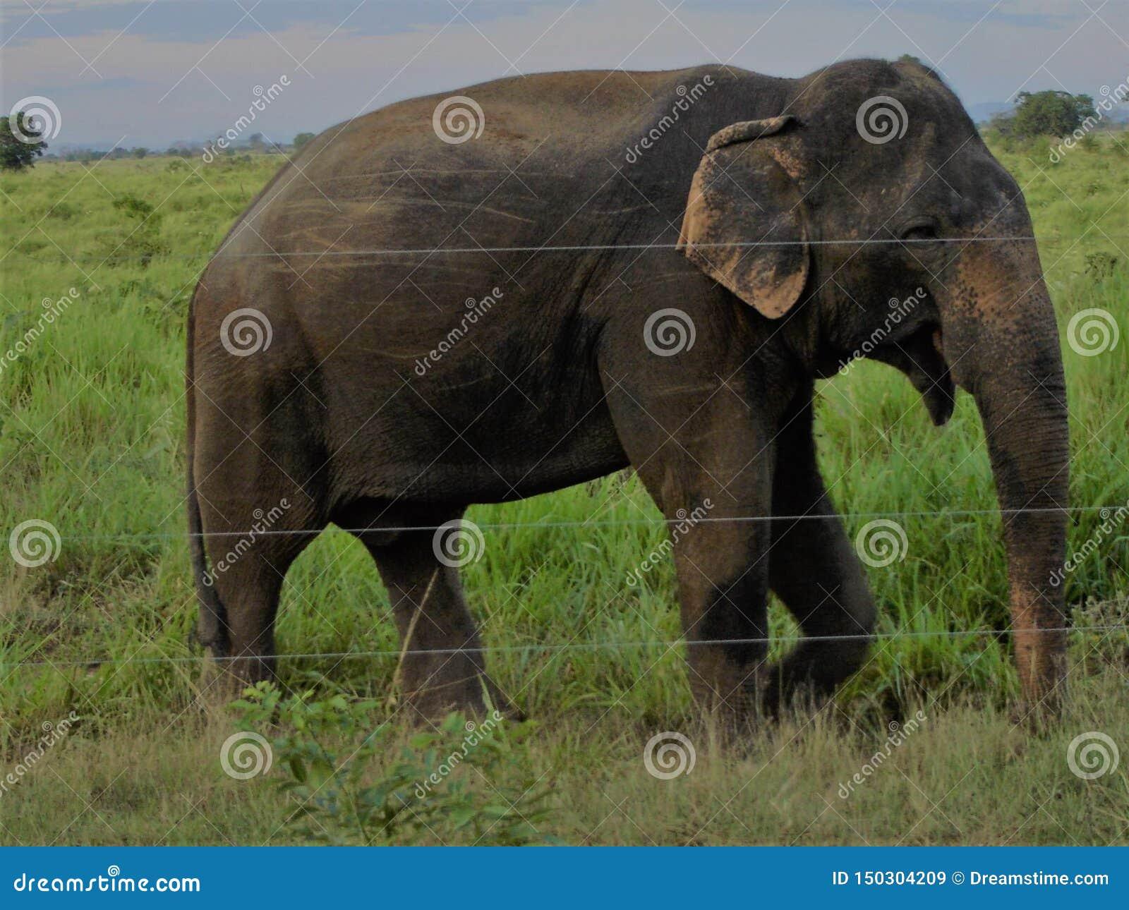Elefant i Udawalawe Sri Lanka
