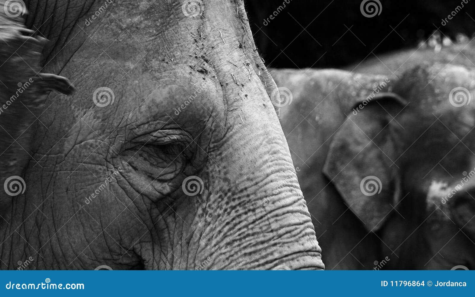 Elefant in Schwarzweiss