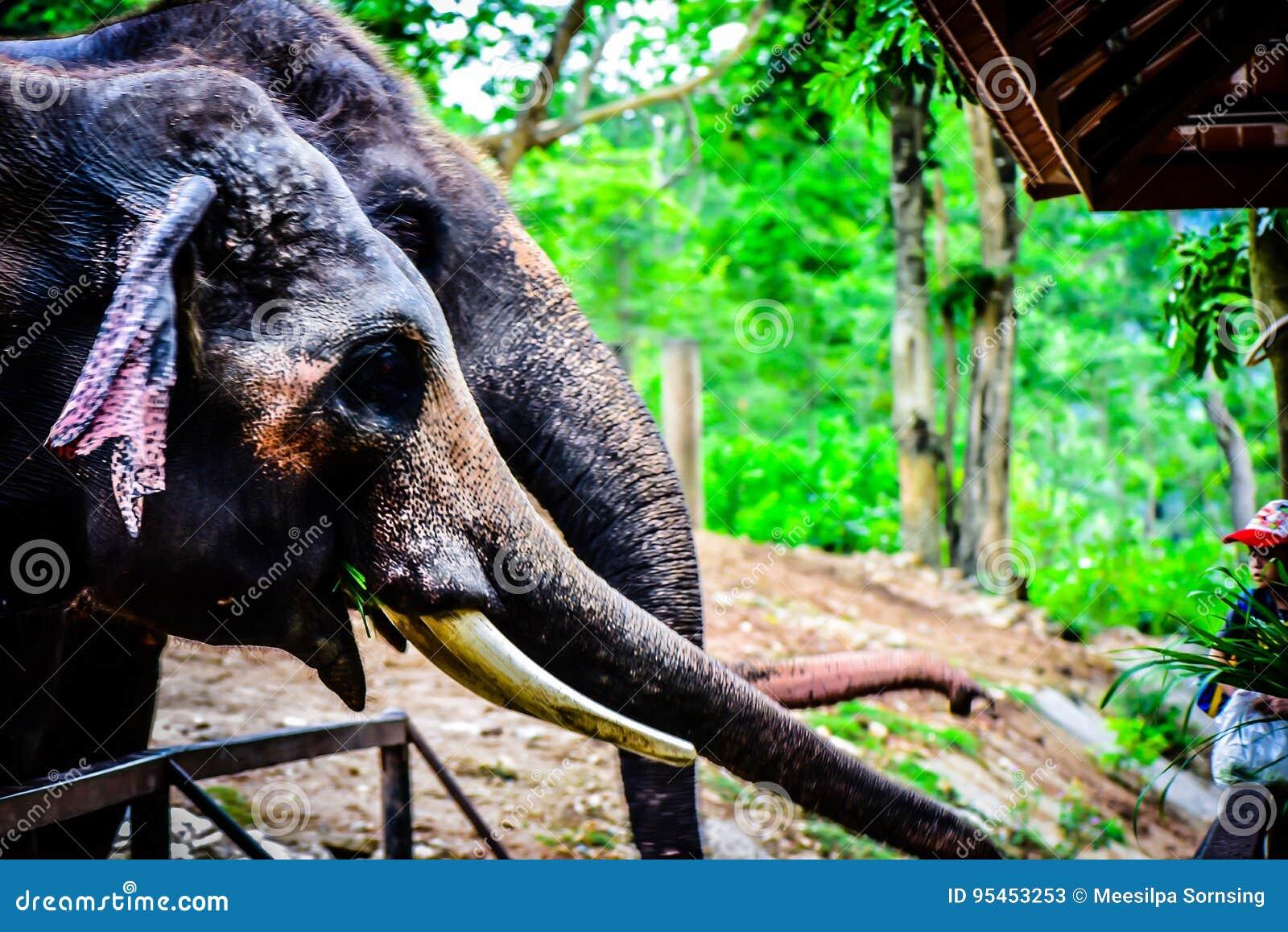 Elefant som är thai,