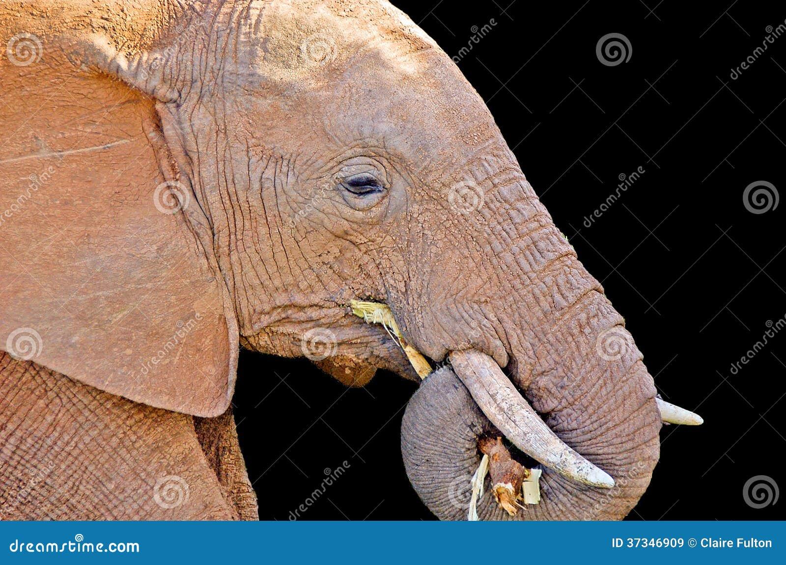 Elefant som tuggar filialen