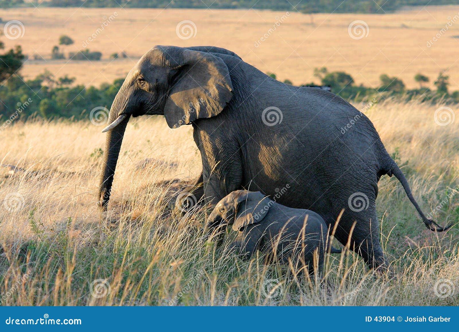 Download Elefant Und Schätzchen-Elefant Stockfoto - Bild von tier, mara: 43904