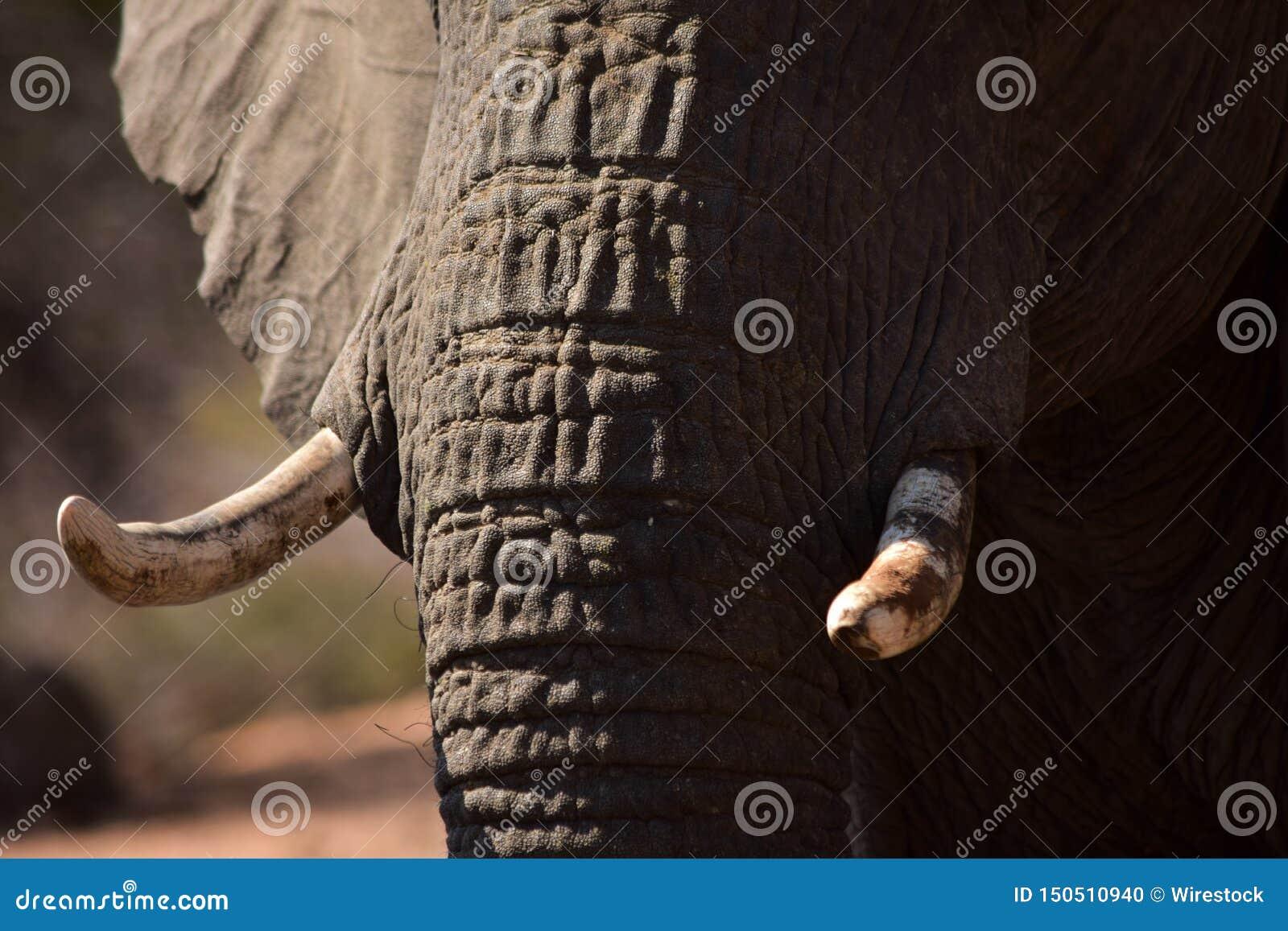 Elefantbeten och skrynklor