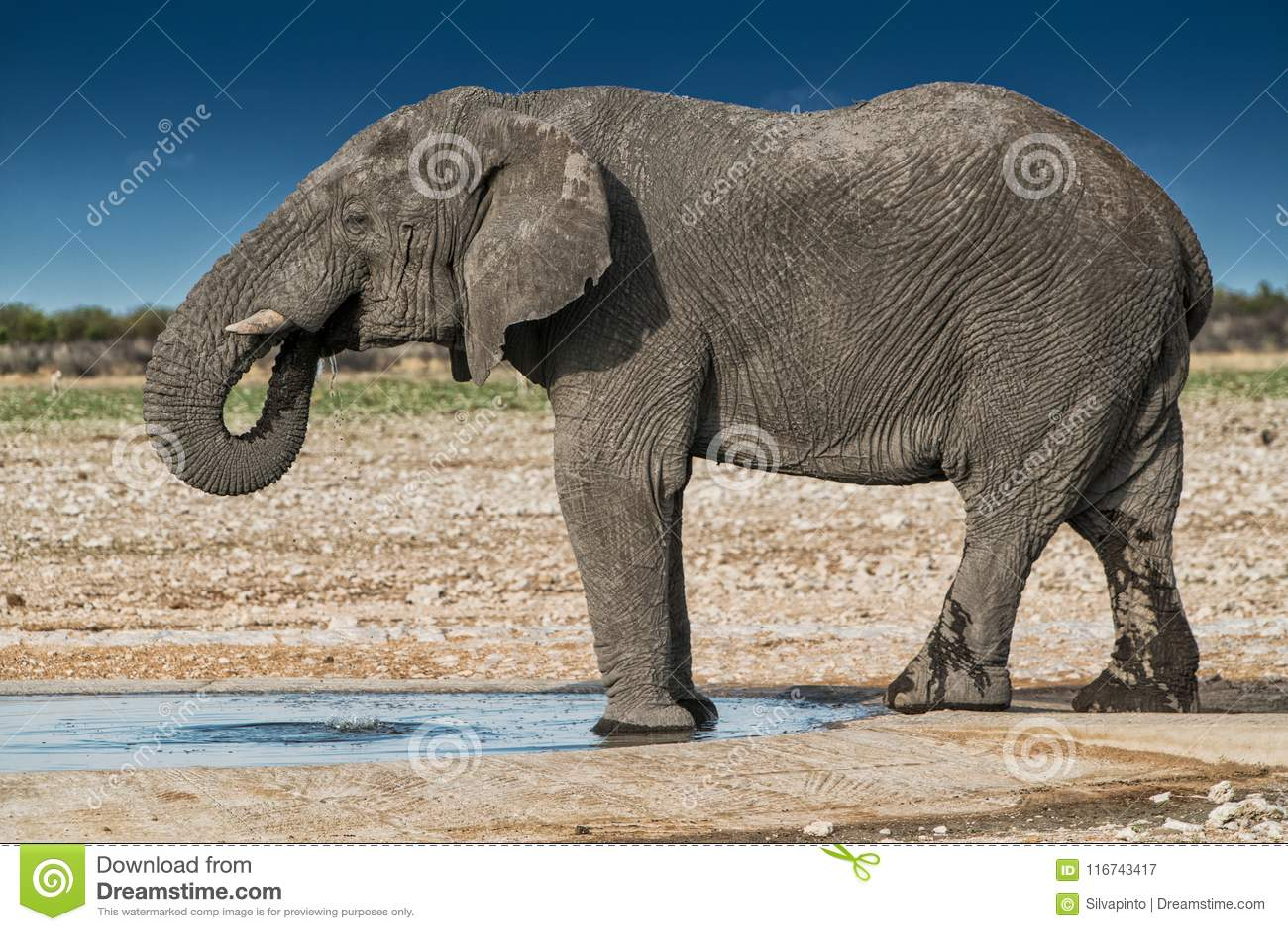 Elefantdricksvatten i savannahen av Etosha Namibia