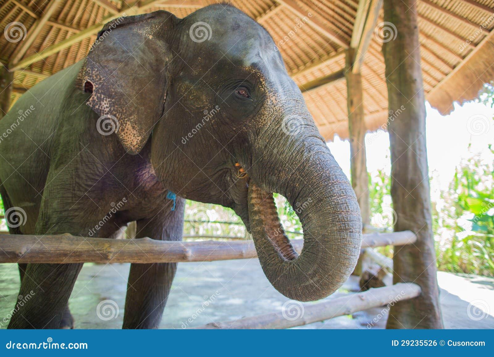 Download Elefante foto de stock. Imagem de reserva, tronco, encantador - 29235526