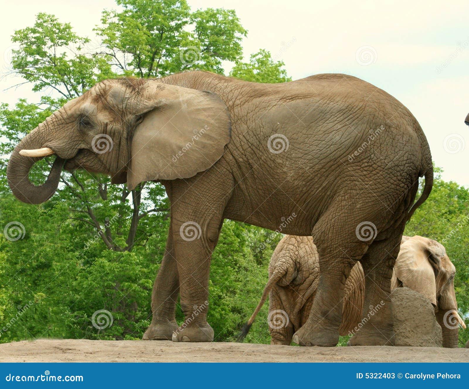 Download Elefante africano immagine stock. Immagine di africano - 5322403
