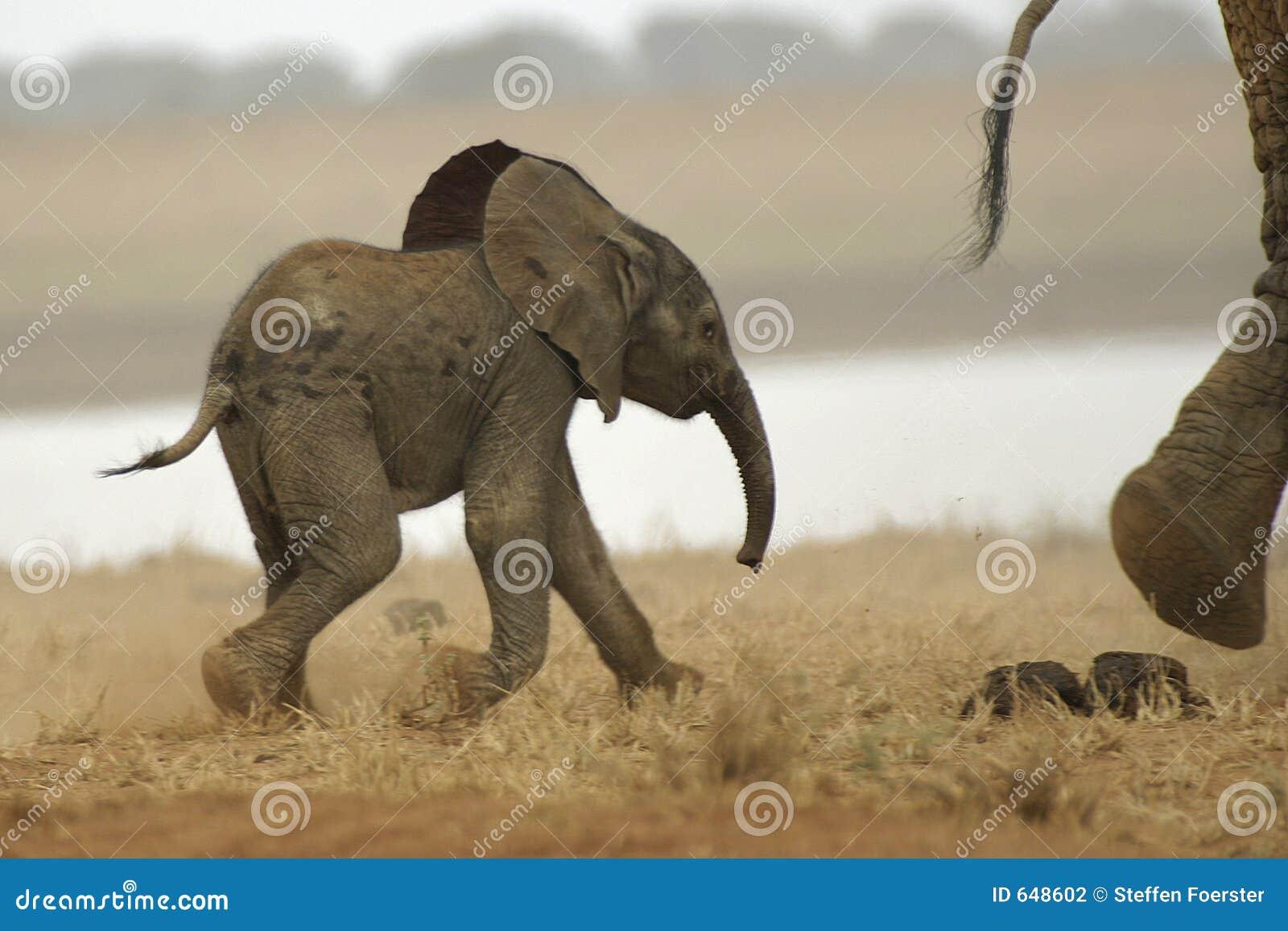 Elefante africano