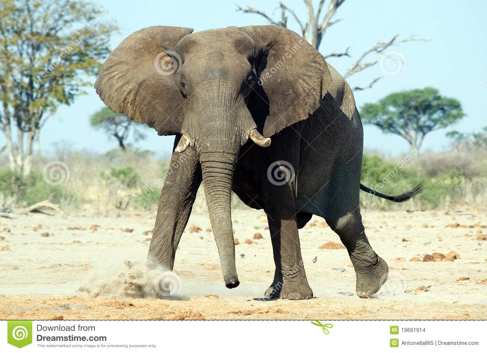 Elefante africano (africana del Loxodonta)
