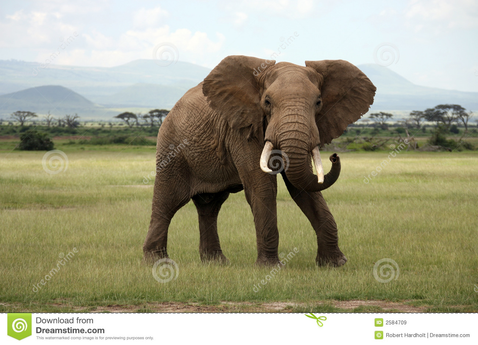 Elefante africano Amboseli