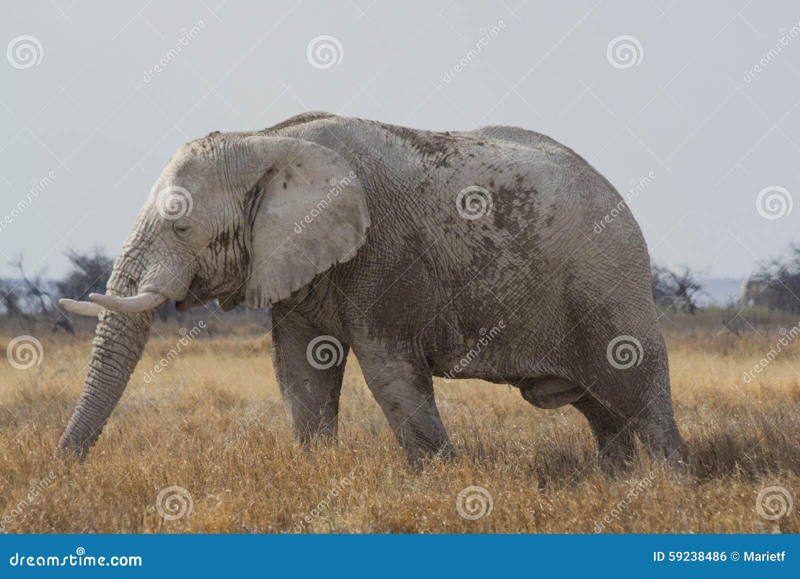 Download Elefante Africano De Bull En El Parque Nacional De Etosha, Namibia Foto de archivo - Imagen de animal, recorrido: 59238486