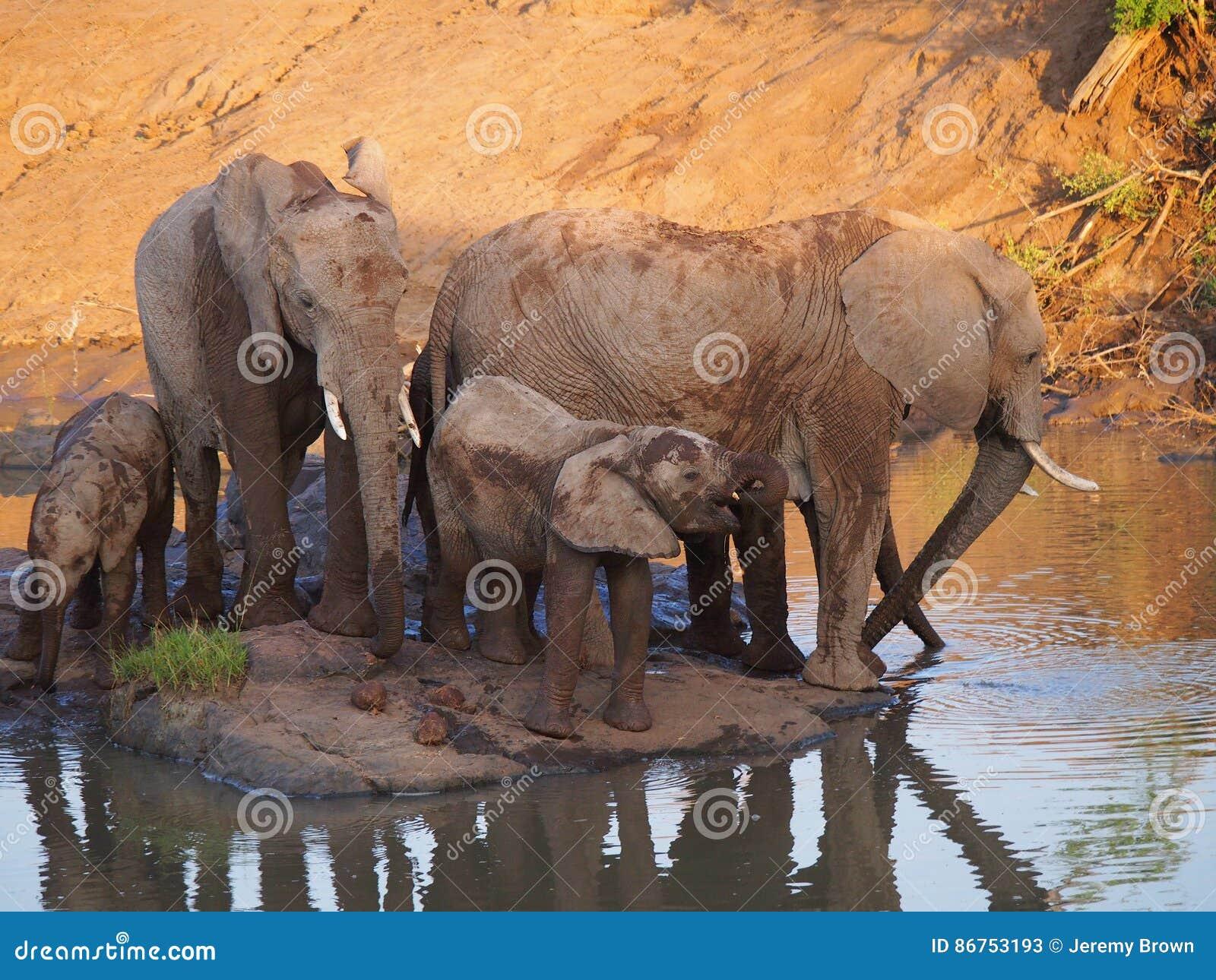 Elefante africano de Bush