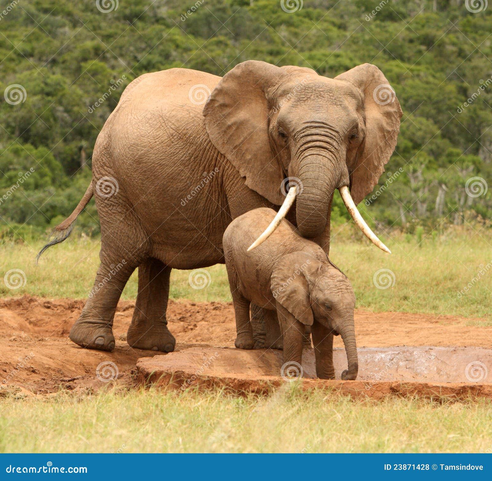 Elefante africano de la madre y del bebé, Suráfrica