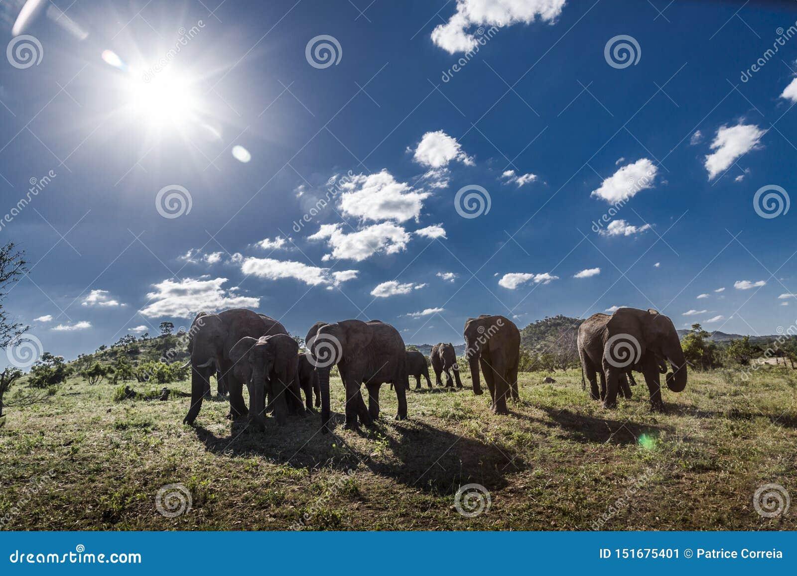 Elefante africano del arbusto en el parque nacional de Kruger, Sur?frica
