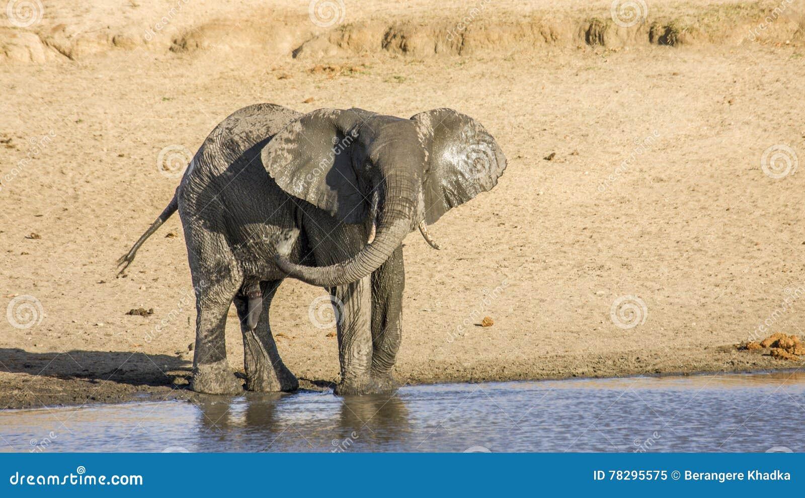 Elefante africano del arbusto en el riverbank, en el parque de Kruger, Suráfrica