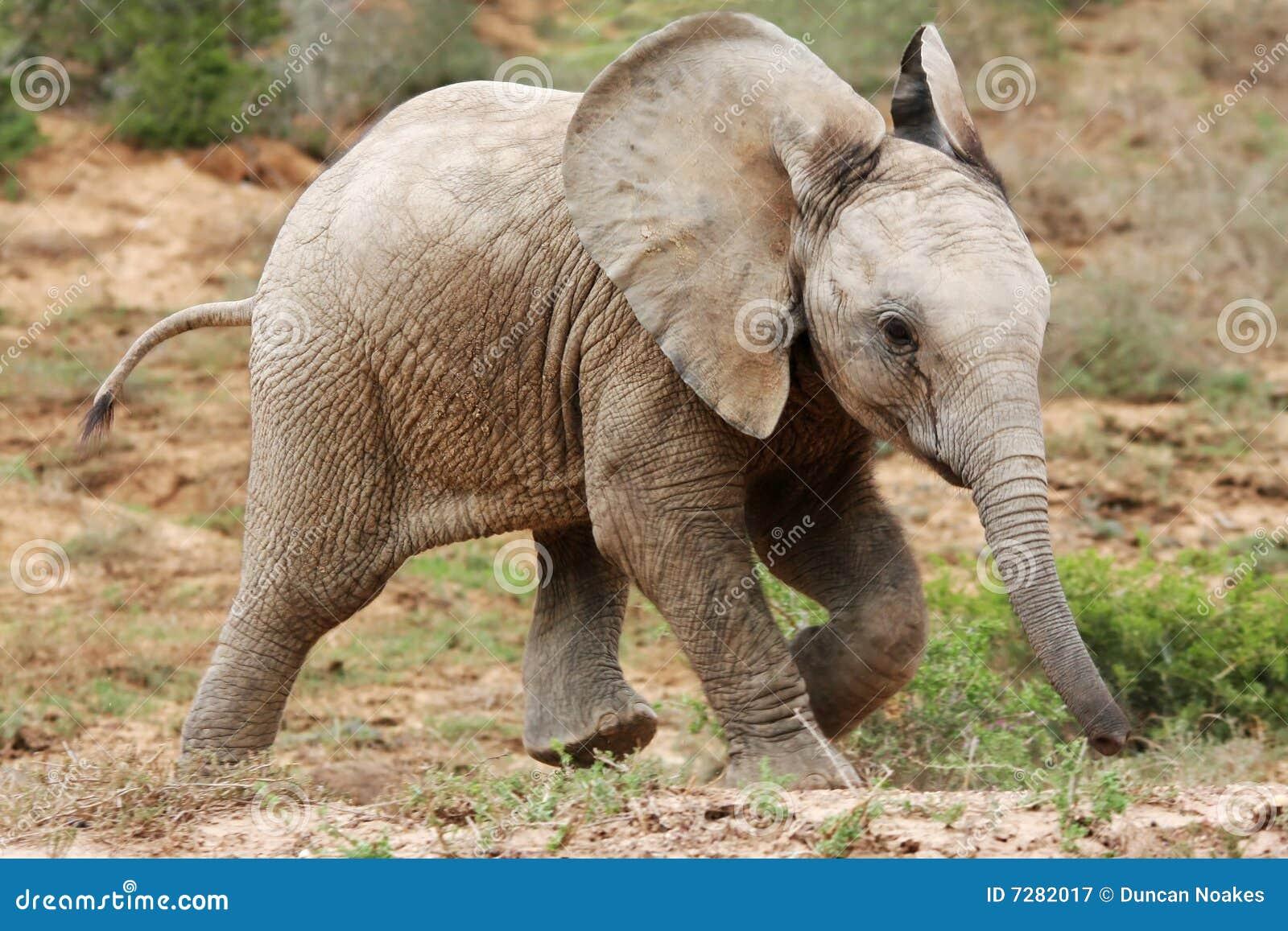 Elefante africano del bebé
