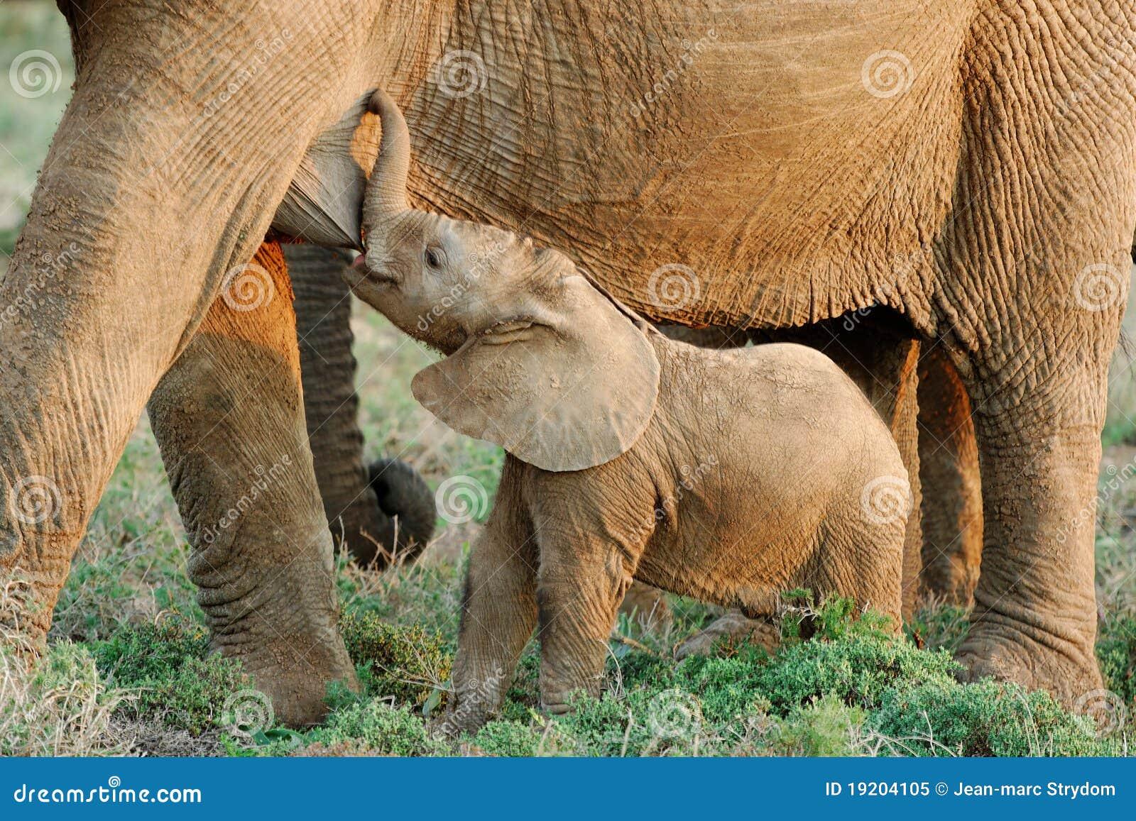 Elefante africano del beb de la cr a imagen de archivo - Fotos de elefantes bebes ...