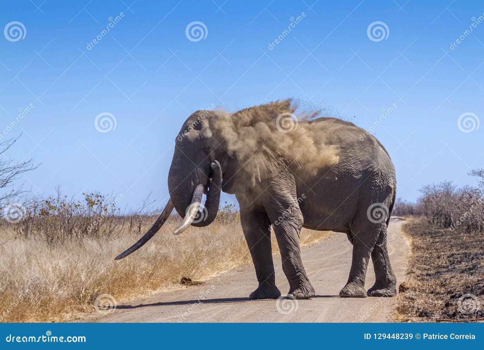 Elefante africano del cespuglio nel parco nazionale di Kruger, Sudafrica