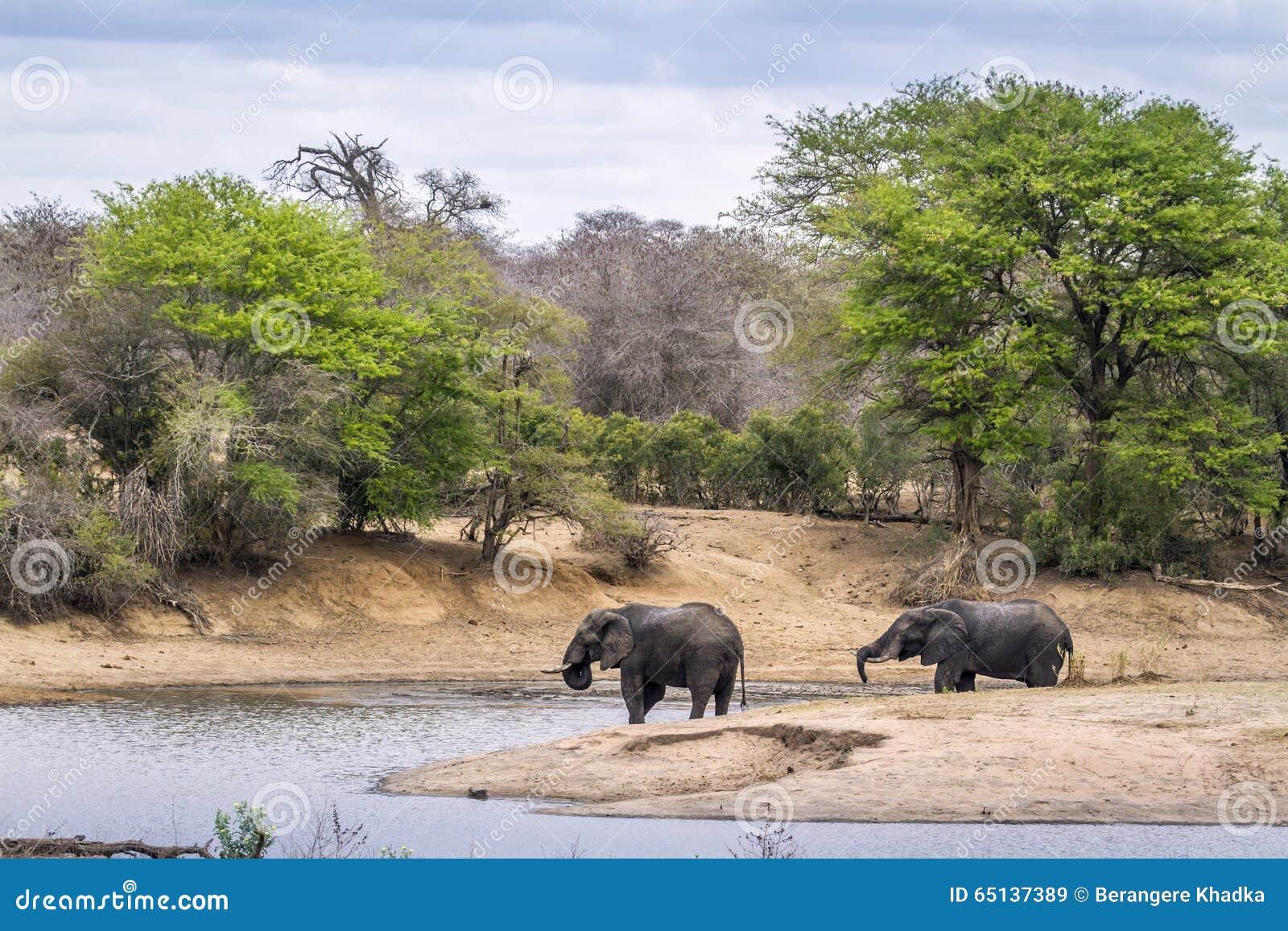 Elefante africano do arbusto no parque nacional de Kruger