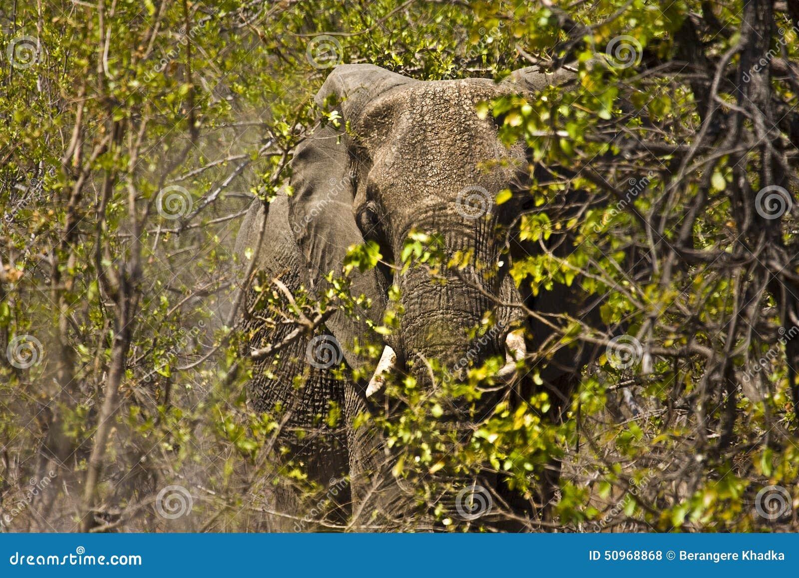 Elefante africano enorme en el arbusto, parque nacional de Kruger, Suráfrica