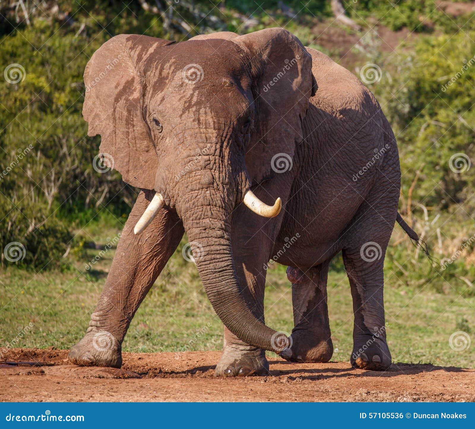 Elefante Africano Masculino Con Los Colmillos Grandes Foto de ...