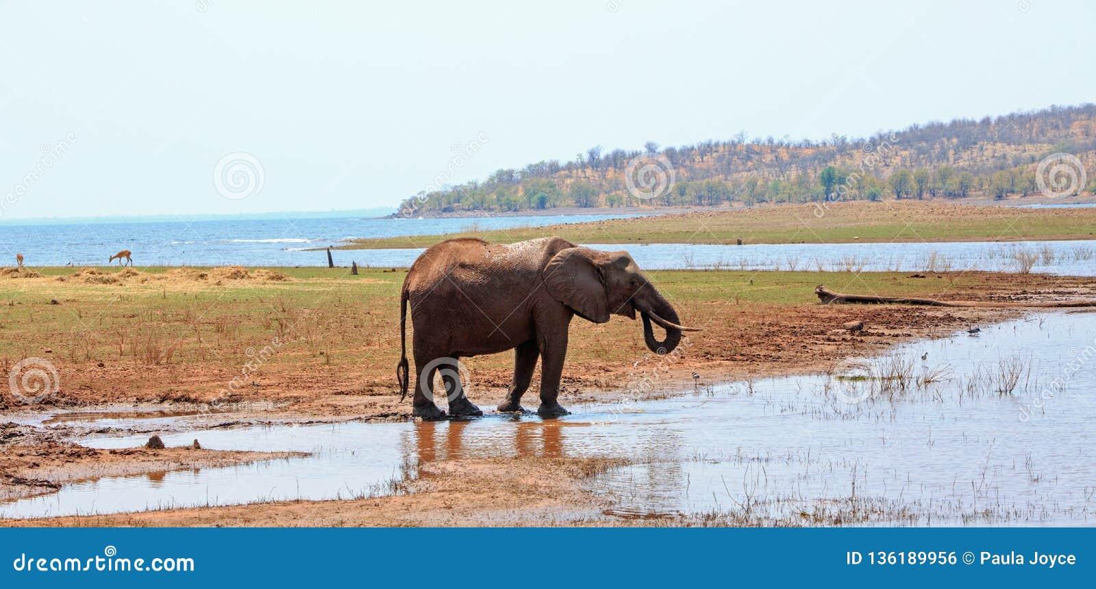 Elefante africano que aprecia uma bebida do lago Kariba com um contexto do lago e da montanha, Zimbabwe